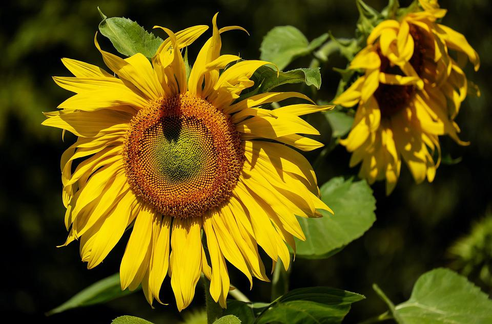 Sun Flower, Flower, Bloom Blooms, Yellow, Summer