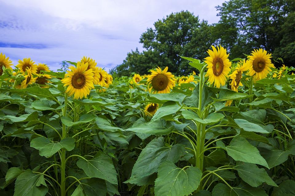 Summer, Sun Flower, The Farm, Japan