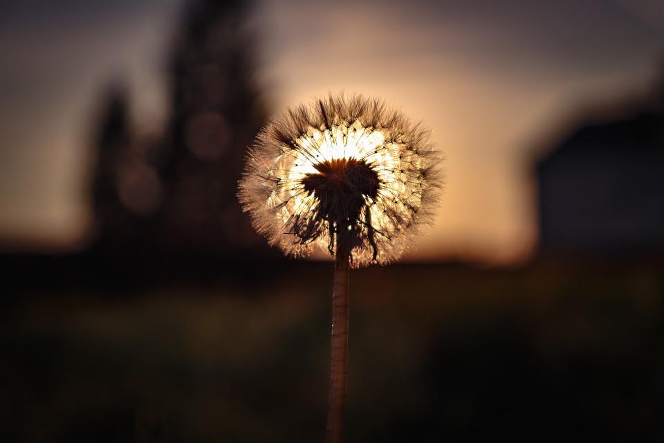 Dandelion, Sunset, Village, Summer, Sun, Flowers