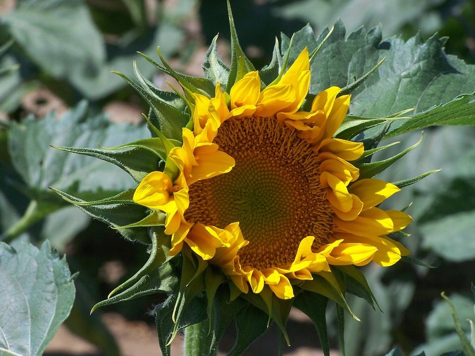 Sunflower, Yellow, Oragnge, Flowers, Plants, Summer