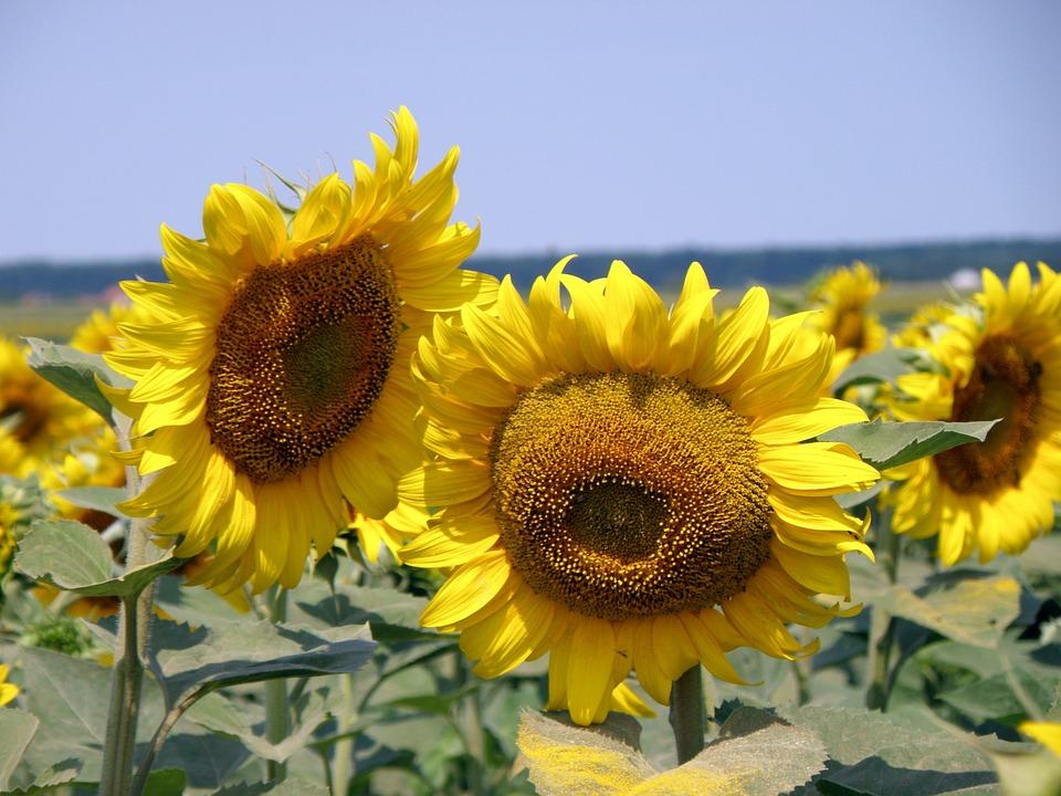 Sunflower, Field, Rural, Sunflower Field, Summer