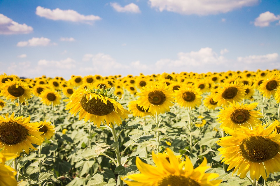 Sun Flowers, Sunny, Sun, Flowers, Sunshine, Summer
