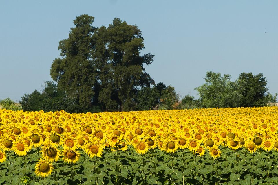 Spain, Sunflowers, Summer, Yellow, Sunny