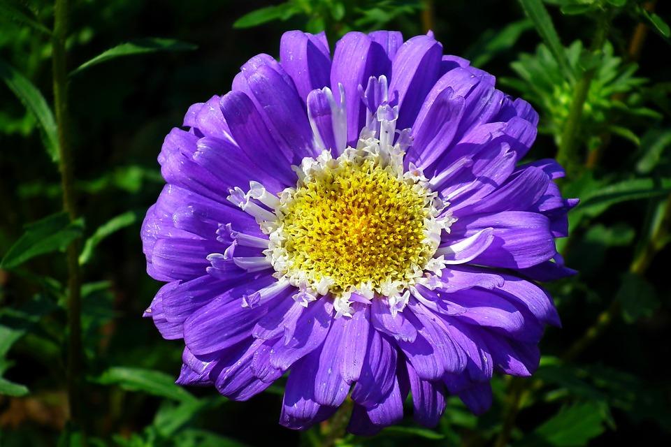 Aster, Flower, Garden, Summer, The Petals, Nature