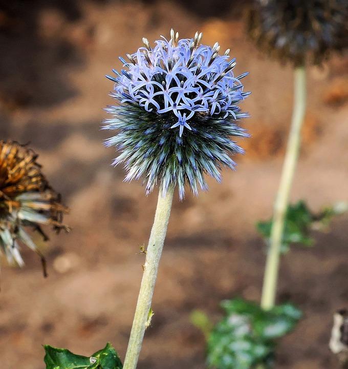 Blossom, Bloom, Thistle, Garden Thistle, Plant, Summer