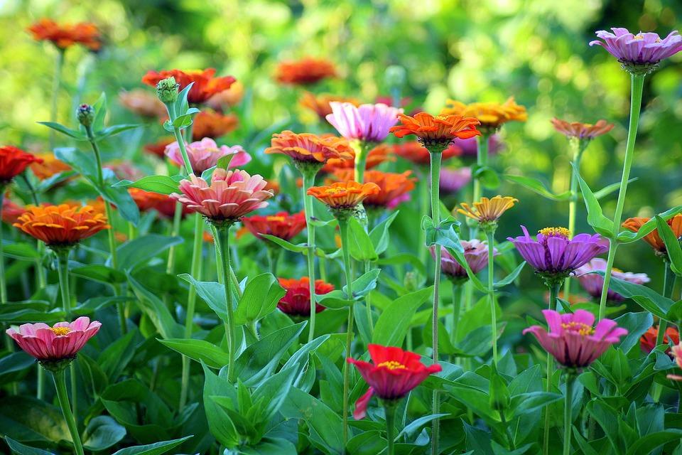 Tin, Summer, Flowers, Garden, Colorful, Zinnia, Nature