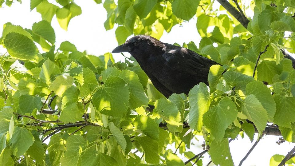 Crow, Tree, Summer, Bird, Gothic, Branch, Dark, Animal