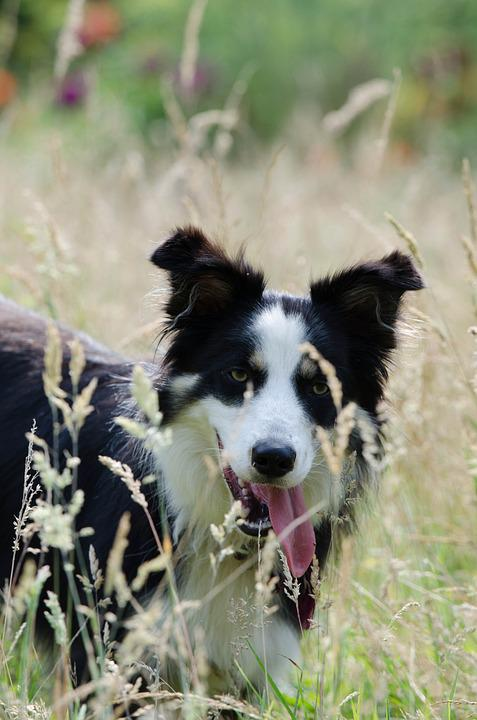 Border Collie, High Grass, Summer, Warm, Tricolour Dog
