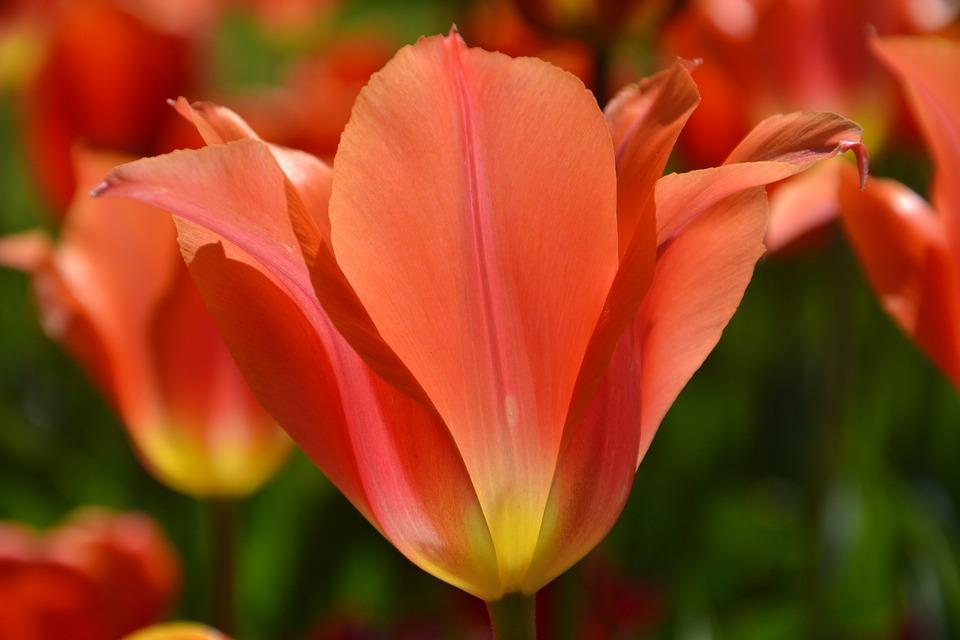Nature, Flower, Tulip, Plant, Petal, Garden, Summer