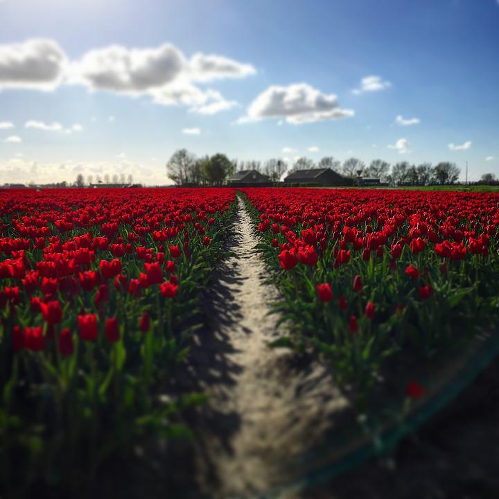 Tulips, Red, Summer, Flowers, Skies, Blue, Nature