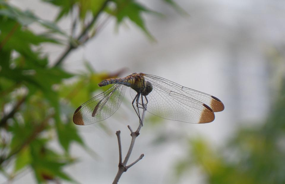 Dragonfly, Insects, Compound Eyes, Wing, Twig, Summer