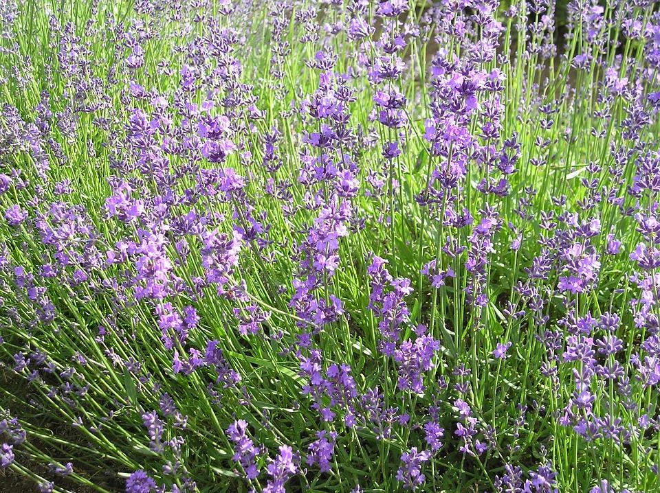 Flowers, Lavender, Nature, Summer, Violet, Provence