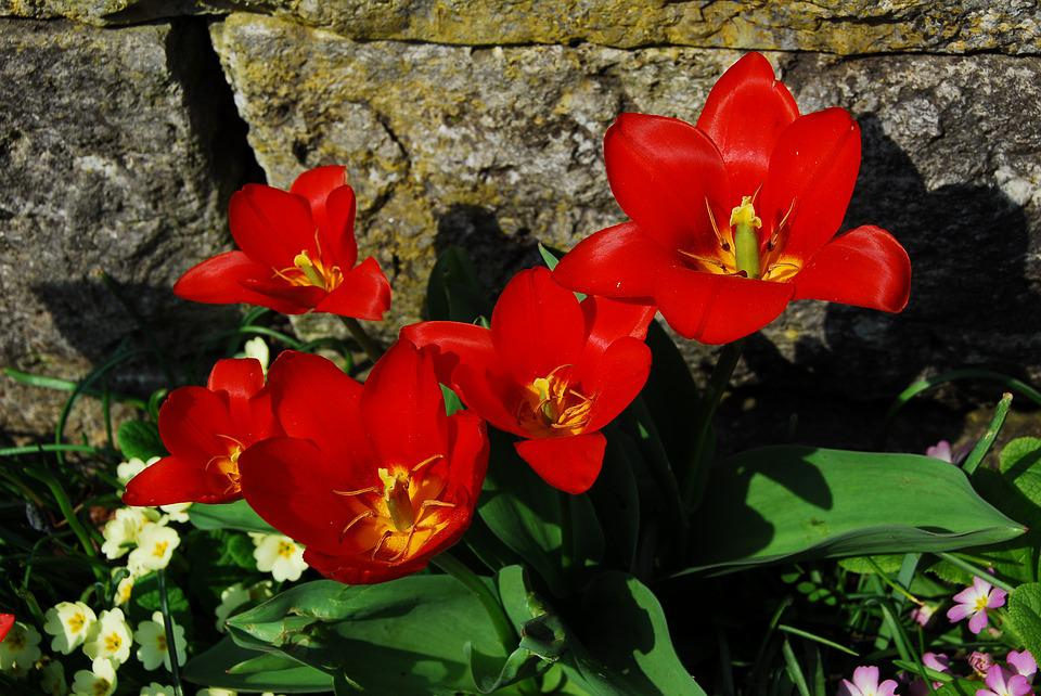 Flower, Nature, Plant, Garden, Summer, Wall, Tulips