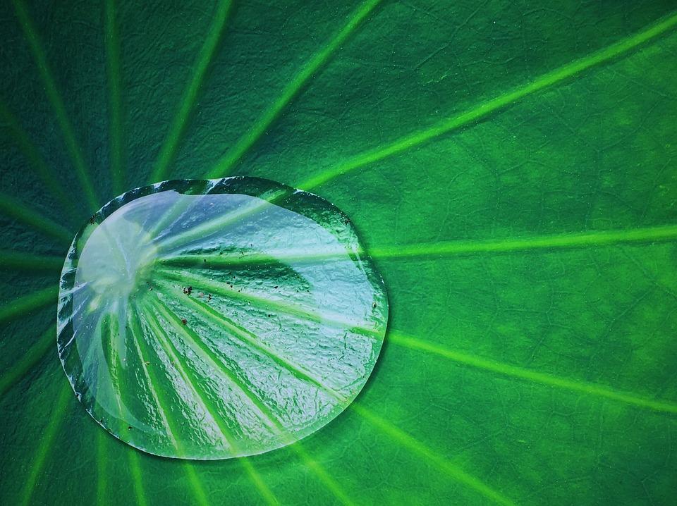 Summer, Lotus Leaf, Water Droplets