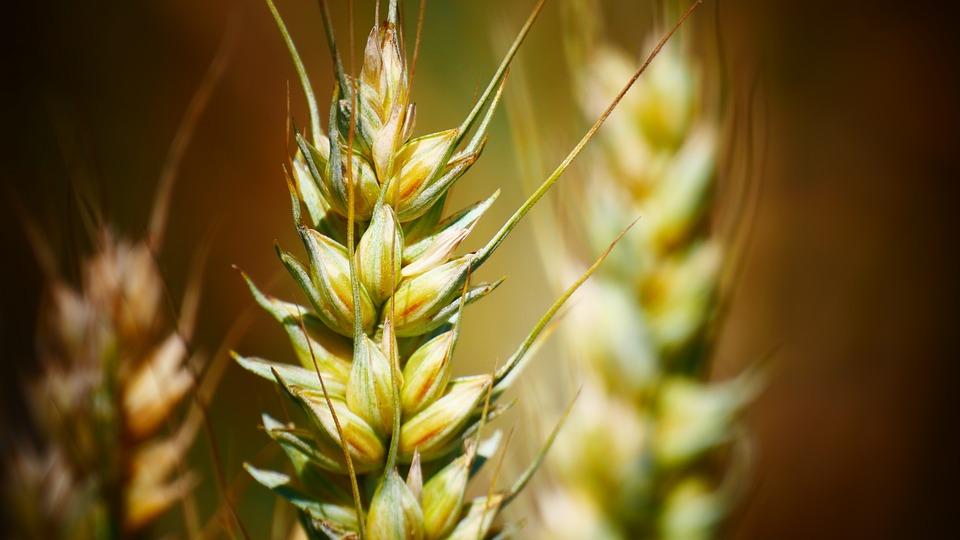 Grains, Rye, Wheat, Food, Field, Grain, Summer