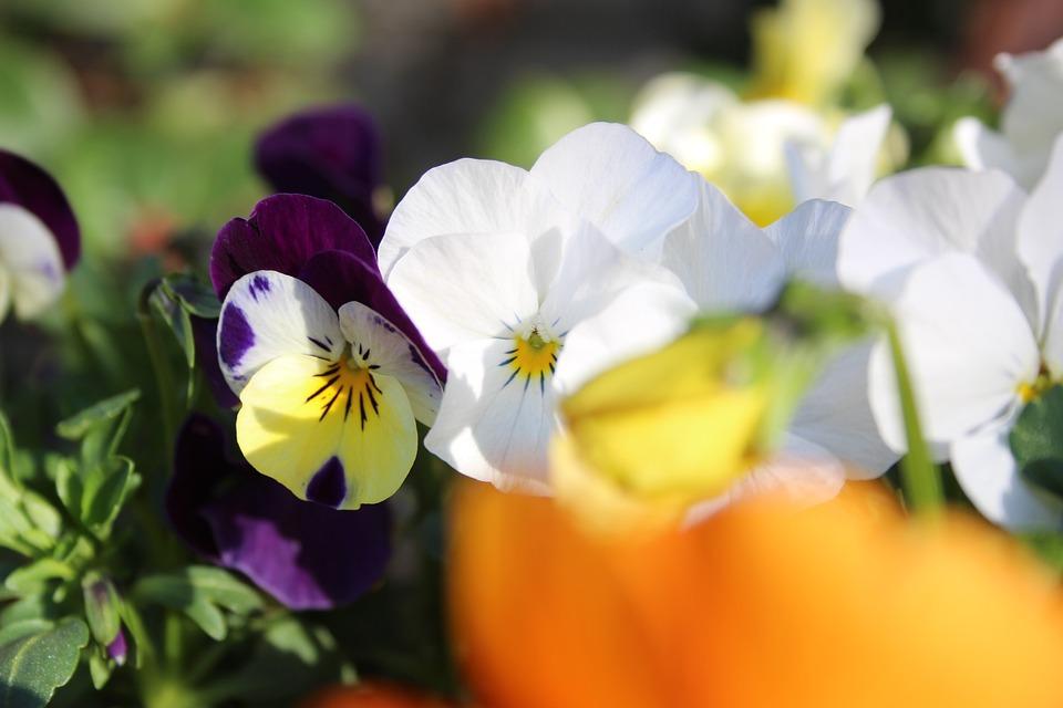 Flower, Summer, Pansy, White, Purple, Violet, Blossom