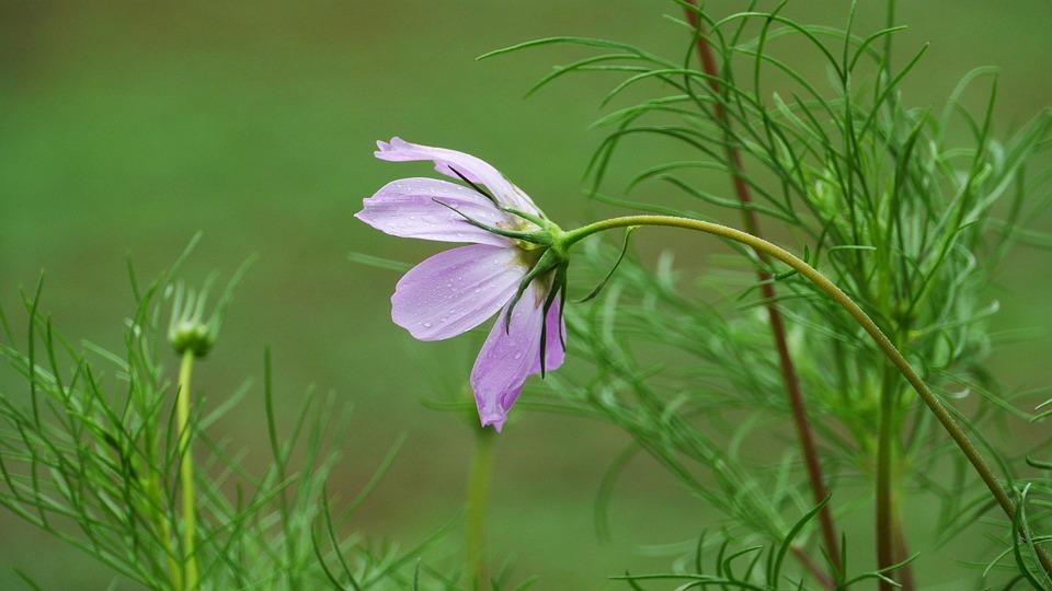 Cosmos, Wildflower, Flowers, Petal, Summer, Stem