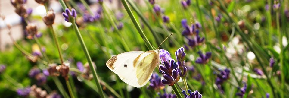 Butterfly, Lavender, Wings, Close Up, Bloom, Summer