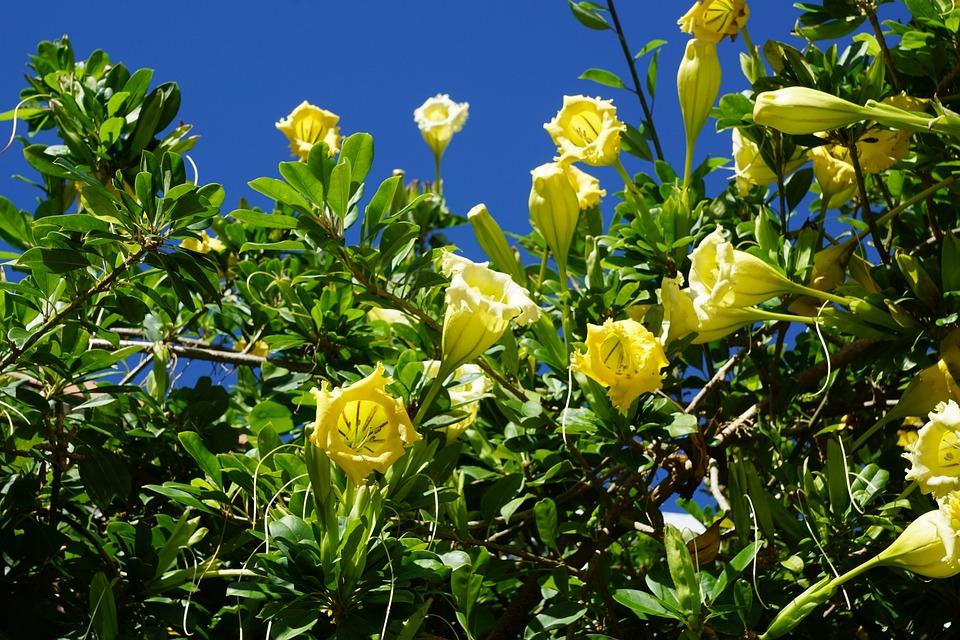 Durman, Flower, Exotic, Yellow Flower, Bush, Summer
