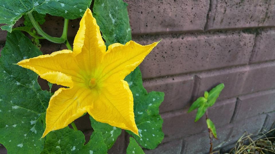 Pumpkin Flower, Yellow, Flower, Summer, Garden, Wall