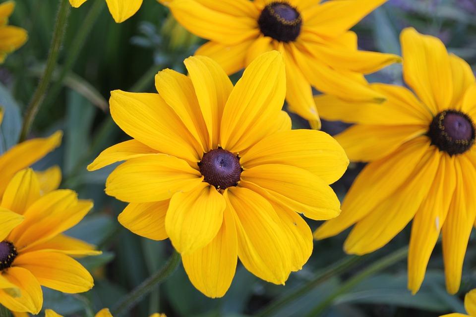 Free photo summer yellow flowers rudbeckia black eyed susan max pixel flowers black eyed susan rudbeckia yellow summer mightylinksfo