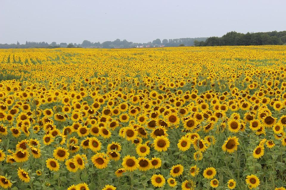 Sunflower, Field, Landscape, Summer, Yellow