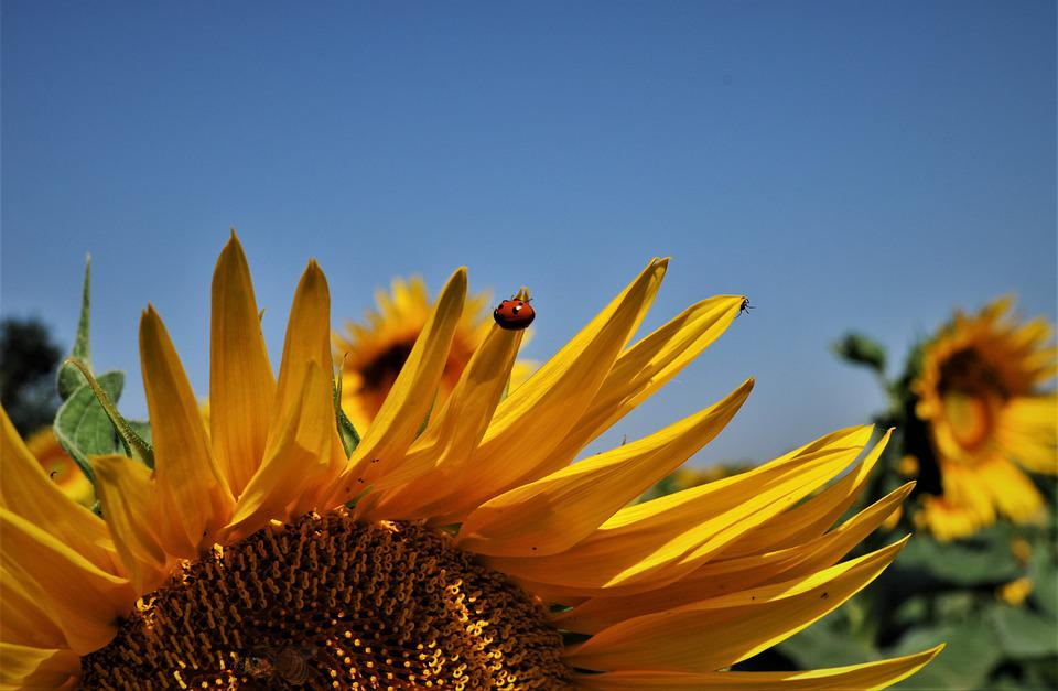 Summer, Sunflowers, Turns, Sunflower, Flower, Yellow