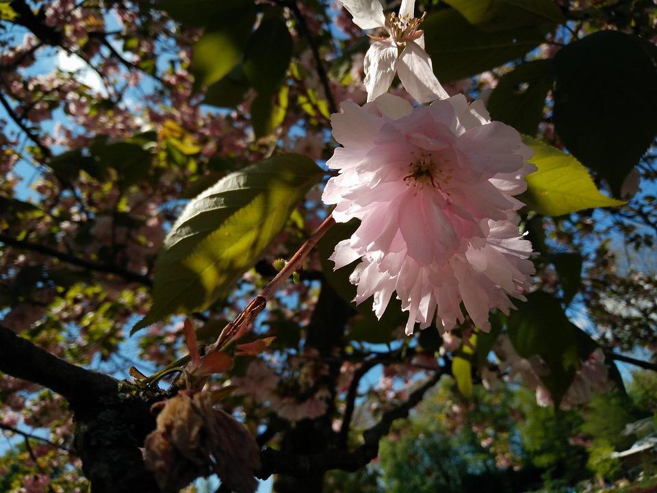 Cherry Tree, Blossom, Bloom, Sun, Focus, Close Up
