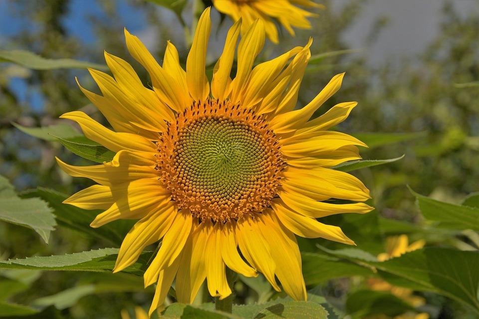 Sunflower, Flower, Target, Bright, Yellow, Summer, Sun