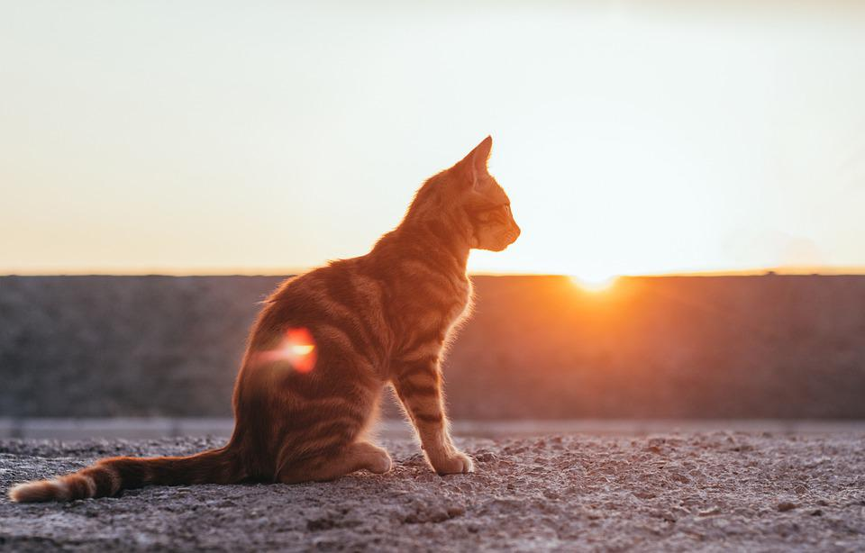 Cat, Sunset, Sun, Pet