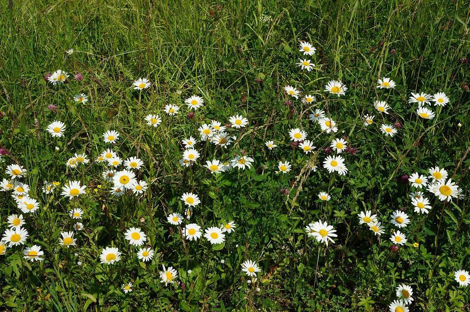 Summer, Grass, Meadow, Chamomile, Nature, Sun, Flowers