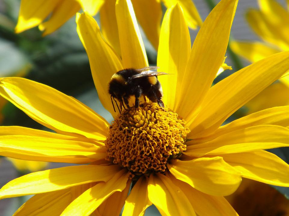 Sun Eye, Blossom, Bloom, Bee, Garden, Summer
