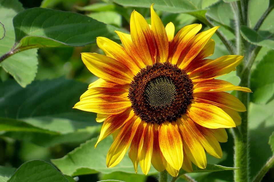 Sun Flower, Beauty, Nature, Flower, Summer, Garden