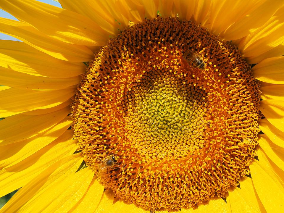 Sun Flower, Bee, Blossom, Bloom, Nectar, Inflorescence