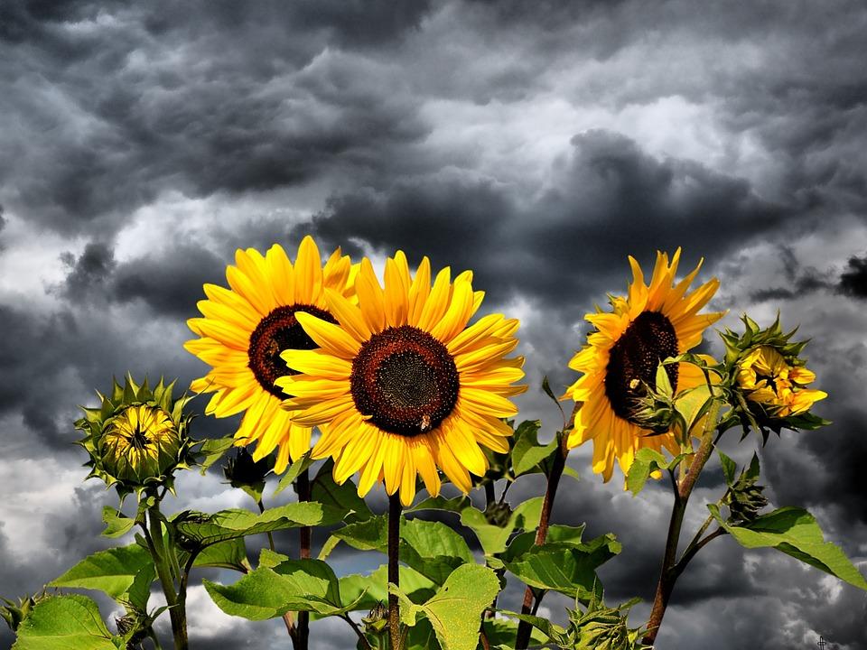 Sun Flower, Flower, Yellow Flower, Bloom, Blossom
