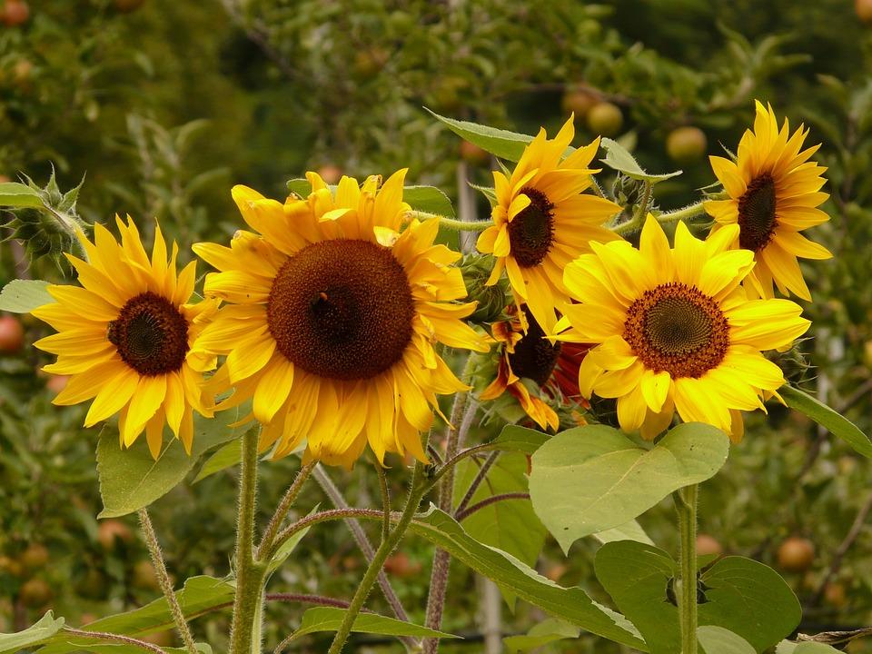Flower, Nature, Plant, Blossom, Bloom, Sun Flower