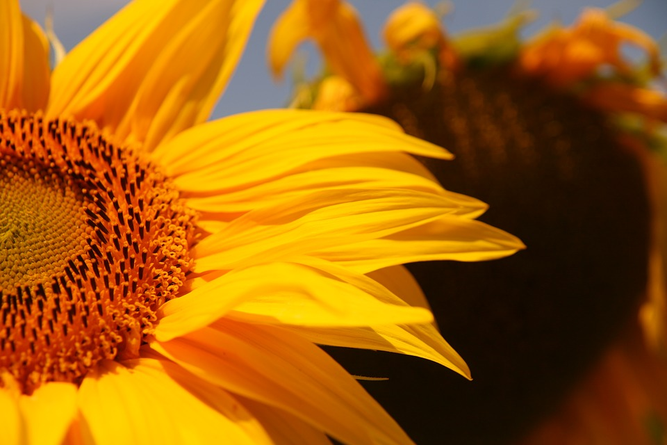 Sun Flower, Yellow, Close