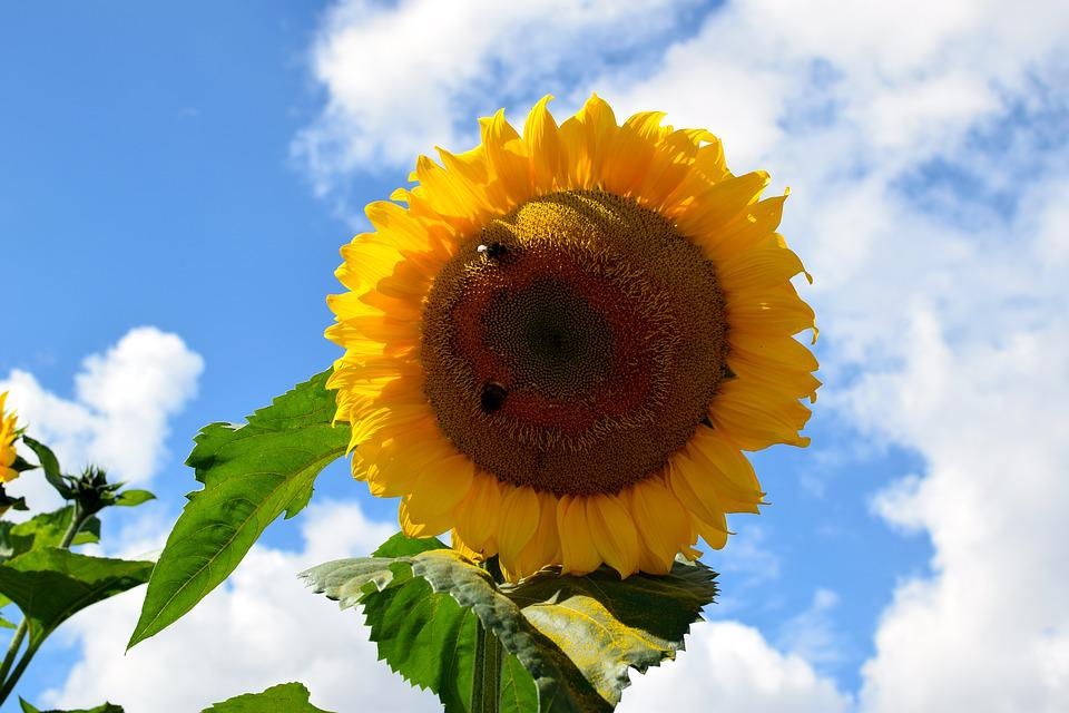 Sun Flower, Bees, Sky, Blue, Clouds, Yellow, Close