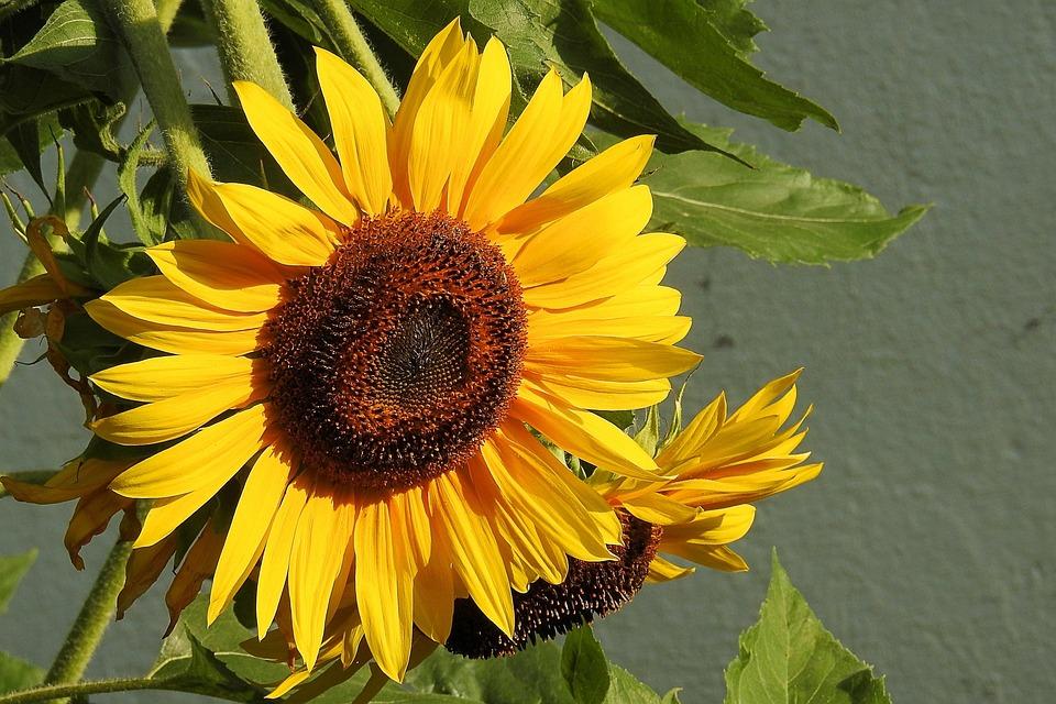 Sun Flower, Blossom, Bloom, Yellow, Helianthos
