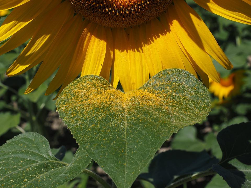 Pollen, Sun Flower, Inflorescence, Flower Basket