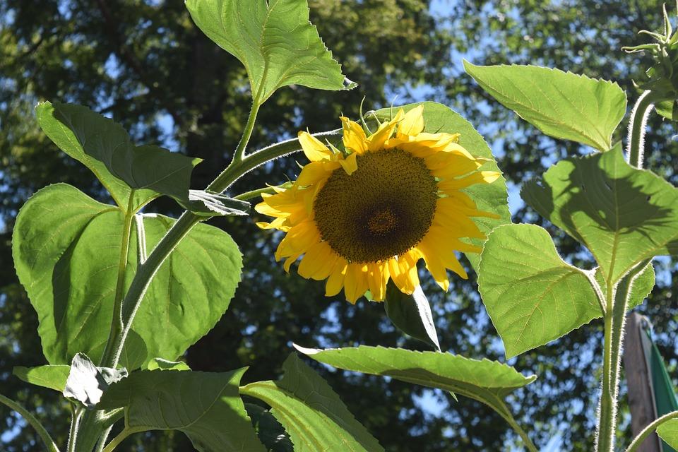 Sun Flower, August, Summer