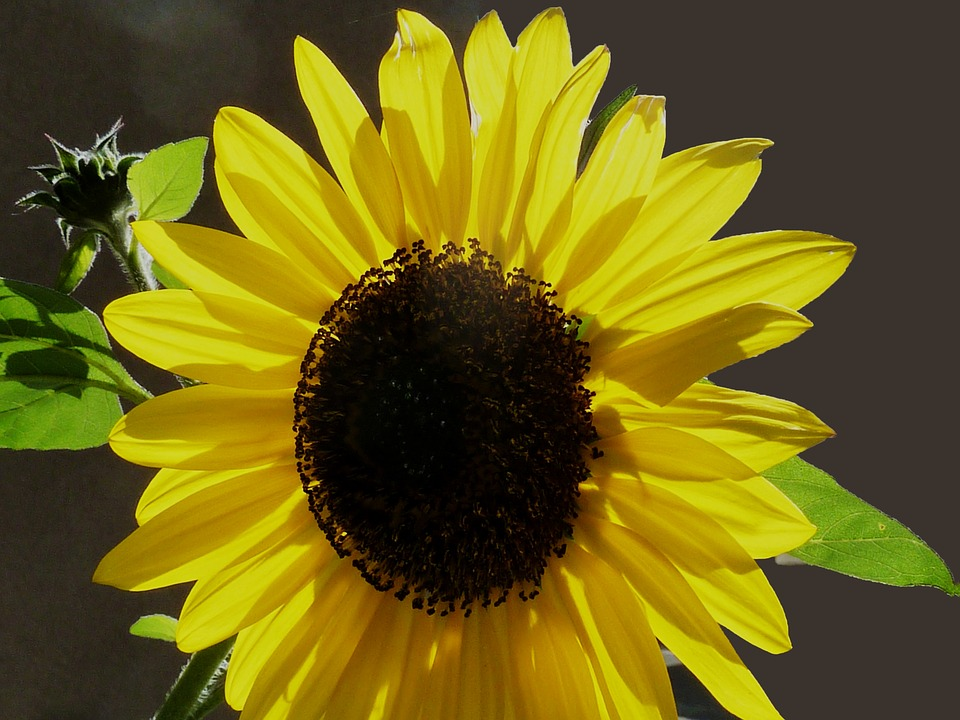 Sun Flower, Autumn, Yellow, Green, Flower, Summer