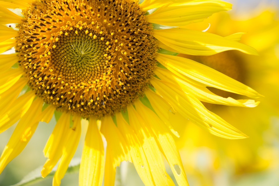 Sun Flower, Sunny, Sun, Flower, Sunshine, Summer, Color