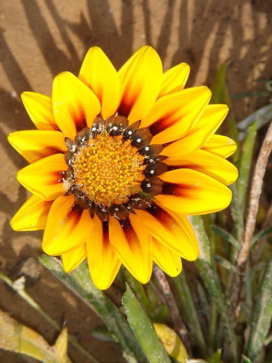 Tunisia, Flower, Nature, Yellow, Sun