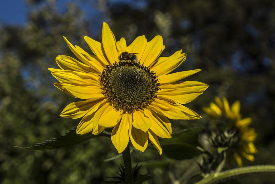 Sun, Sun Flower, Hummel, Rays, Close, Bloom, Yellow