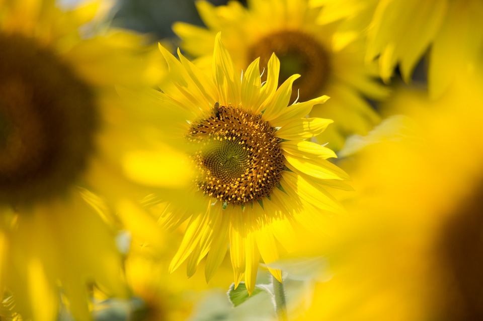 Sun Flowers, Sunny, Sun, Flowers, Sunshine, Summer