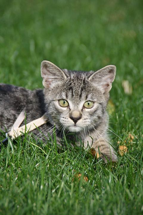 Cat, Meadow, Sun, Kitten, Freewheel, Leash, Grass