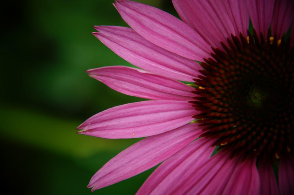 Coneflower, Sun Hat, Echinacea, Blossom, Bloom, Flower