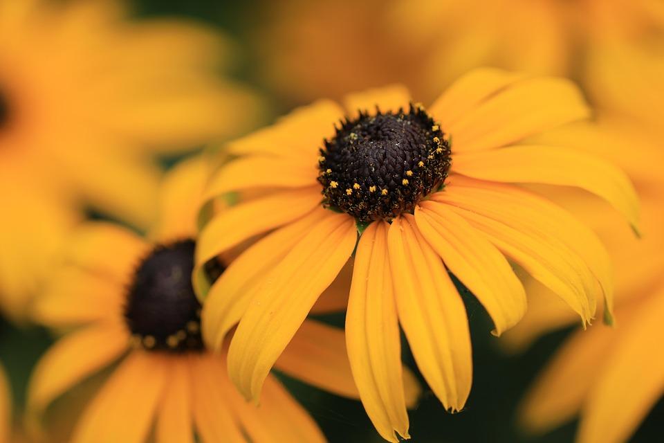 Flowers, Plants, Sun Hat, Rudbeckia, Yellow