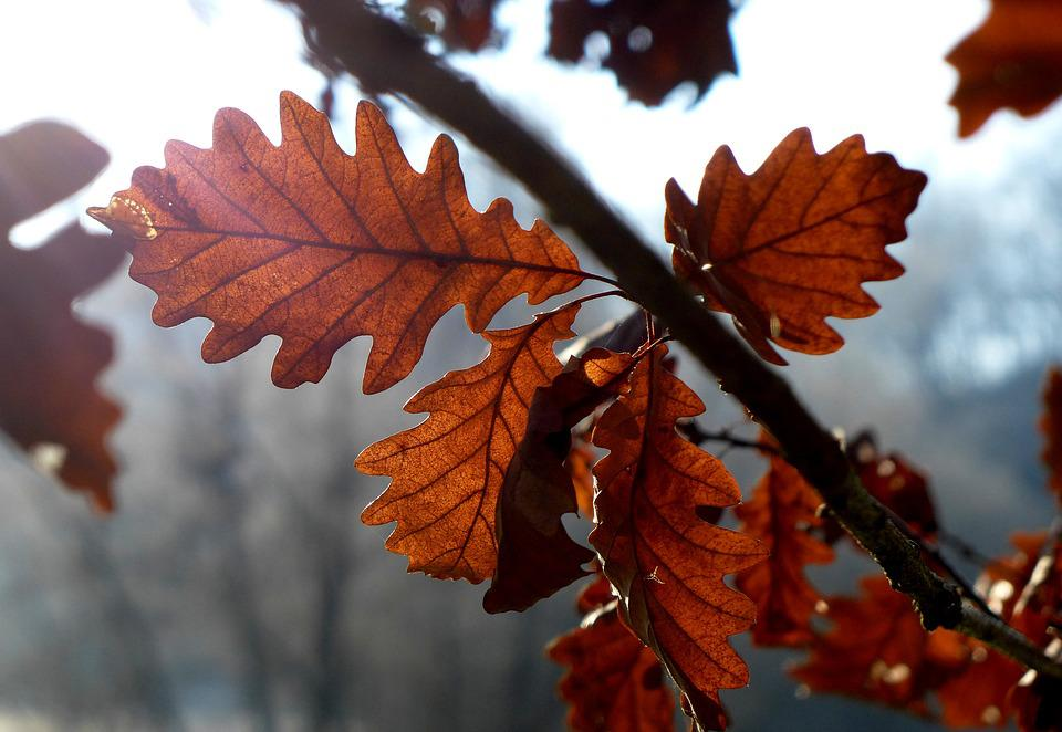 Light, Leaves, Auburn, Translucent, Mood, Sun